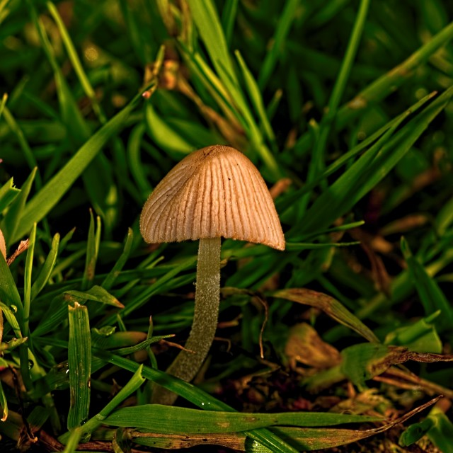 """Glistening Ink Cap mushroom in grass"" stock image"