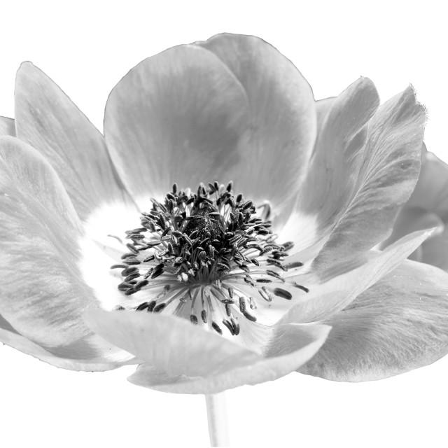 """Harmony Scarlet Anemone"" stock image"