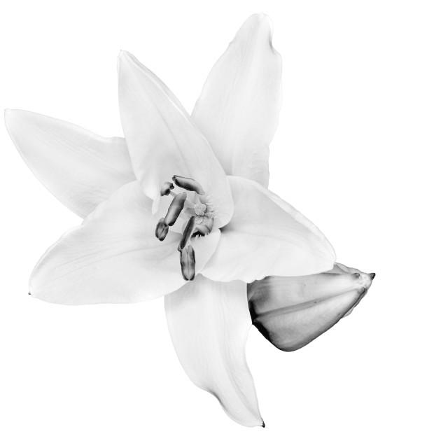 """daylily"" stock image"