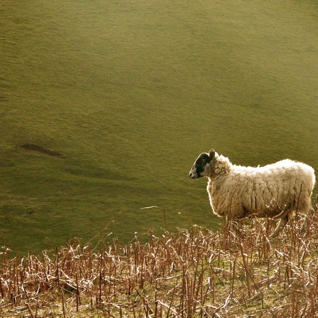 """Sheep on hillside"" stock image"