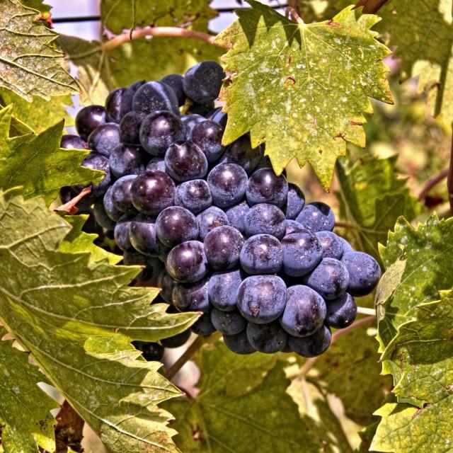 """Grapes of Chianti"" stock image"