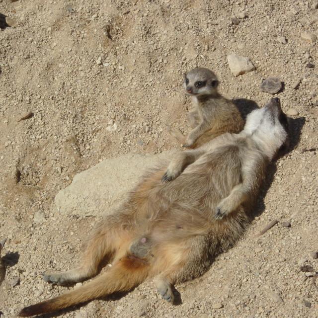 """""""Meerkat Sunbathing"""" stock image"""