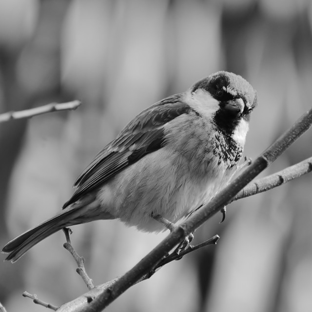 """House Sparrow On A Twig 2"" stock image"