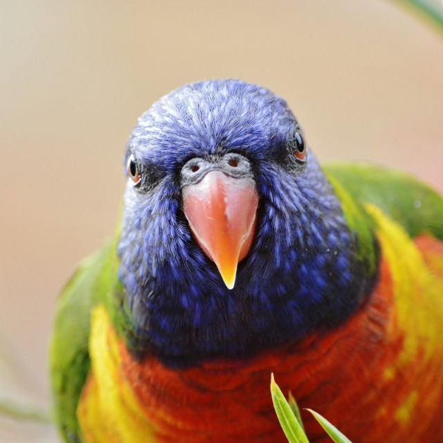 """Rainbow Lorikeet Head On"" stock image"