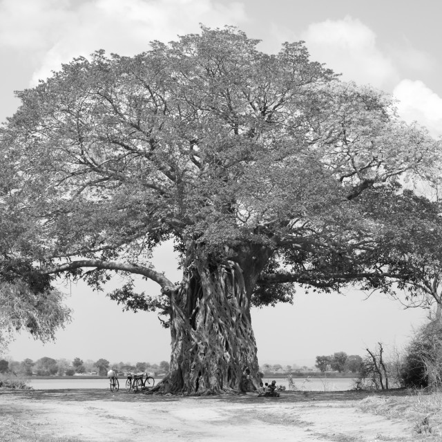 """Livingstone's Tree"" stock image"