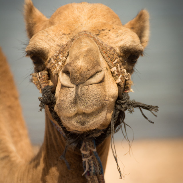 """Young Camel"" stock image"