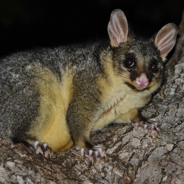 """""""Common Brushtail Possum"""" stock image"""