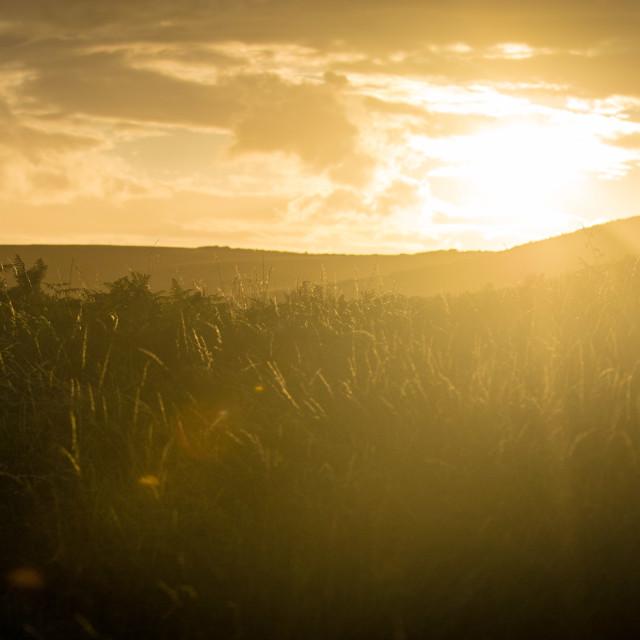 """Golden Grass Sunset"" stock image"