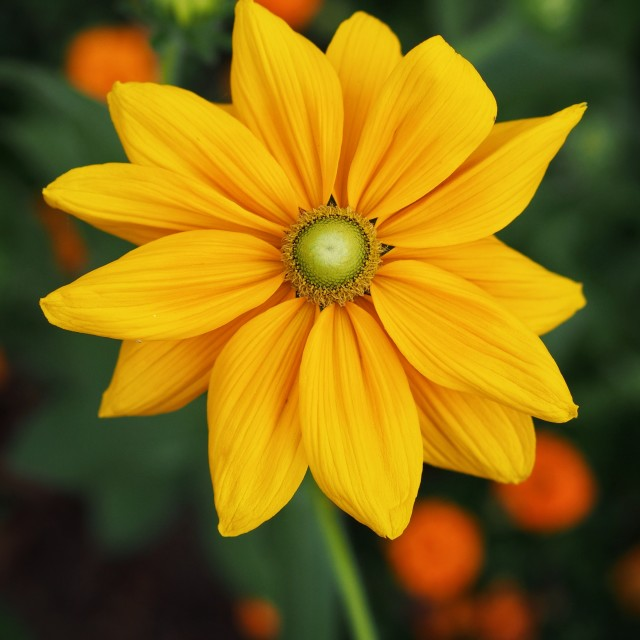 """Rudbeckia 'Irish Eyes'"" stock image"