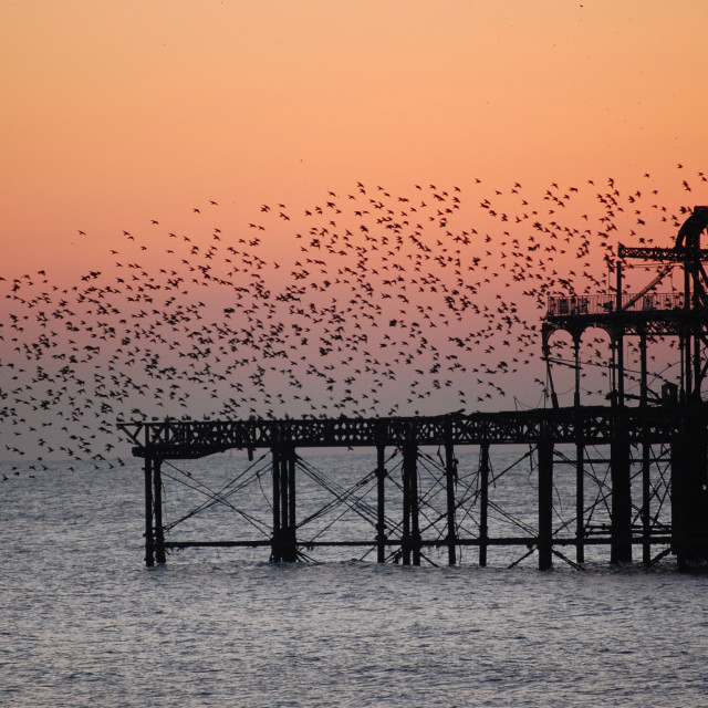 """West Pier starlings"" stock image"