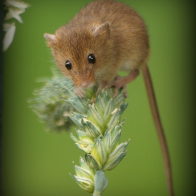 """Harvest Mouse profile"" stock image"