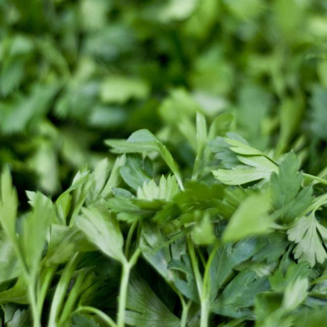"""""""The grass looks greener (Coriander)"""" stock image"""
