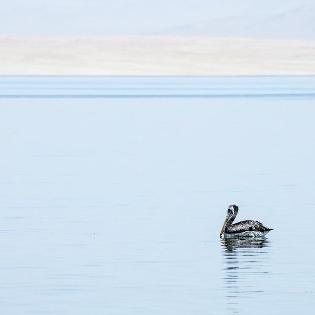 """Peruvian pelican"" stock image"