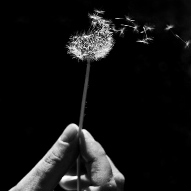 """Dandelion clock black and white"" stock image"
