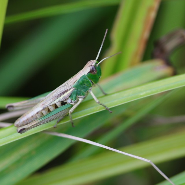 """grass hopper"" stock image"