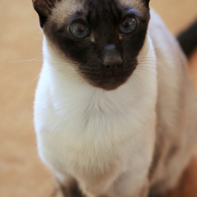 """siamese cat"" stock image"