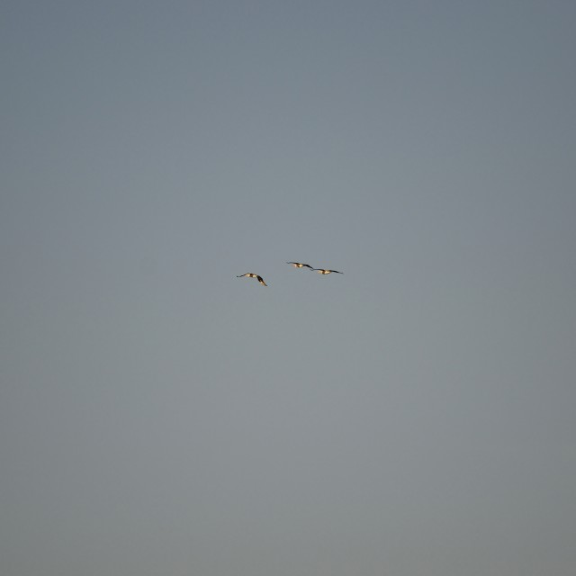 """""""Three Pelicans Flying"""" stock image"""