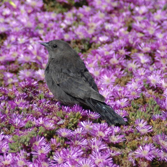"""Juvenile Brewer's Blackbird (Euphagus cyanocephalus)"" stock image"