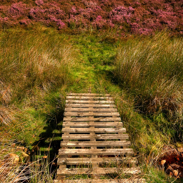 """The Heather Is Out"" stock image"