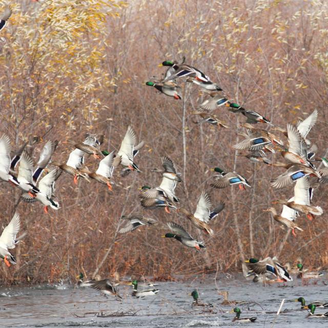 """""""Mallard ducks taking flight"""" stock image"""