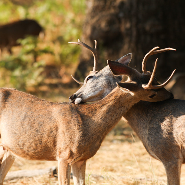 """Mule deer bucks licking each others backs."" stock image"