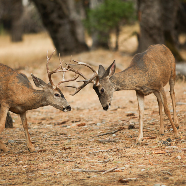 """Mule deer bucks sparring in Yosemite National Park."" stock image"