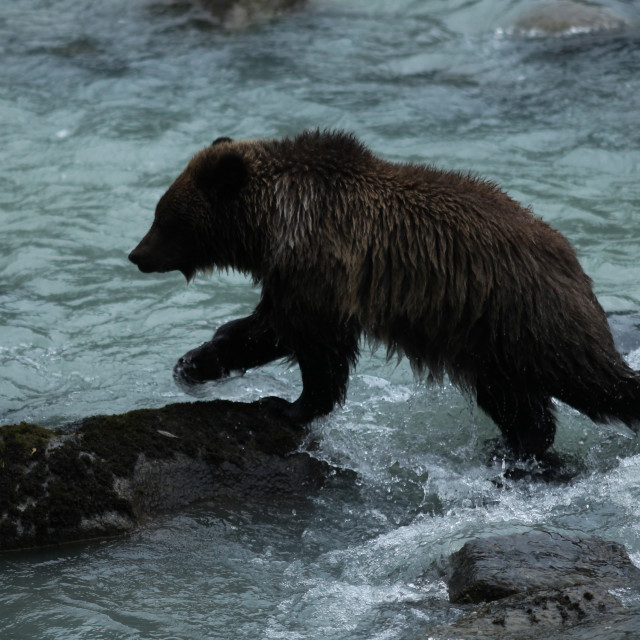 """Brown bear cub jumping from rock to rock in the Chilkoot River"" stock image"
