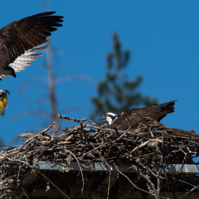 """Osprey brings a fish to the nest for a newly hatched chick."" stock image"