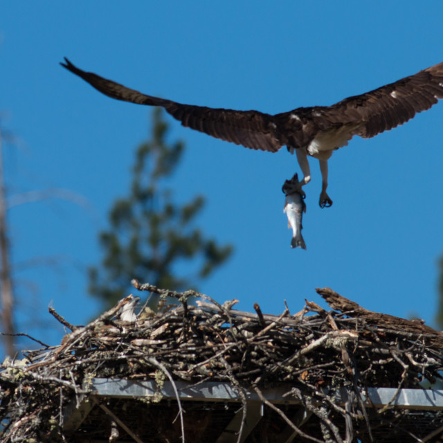 """""""Osprey brings a fish to the nest for a newly hatched chick."""" stock image"""