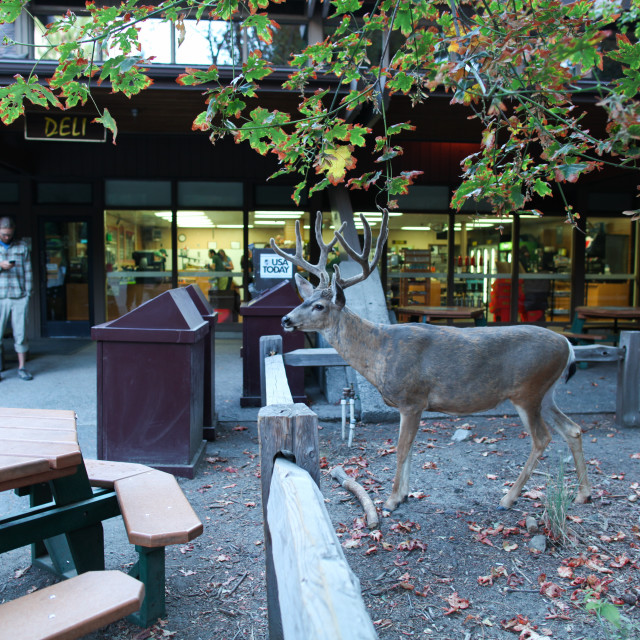 """Tourist with cell phone and close mule deer at the deli in Yosemite National Park."" stock image"