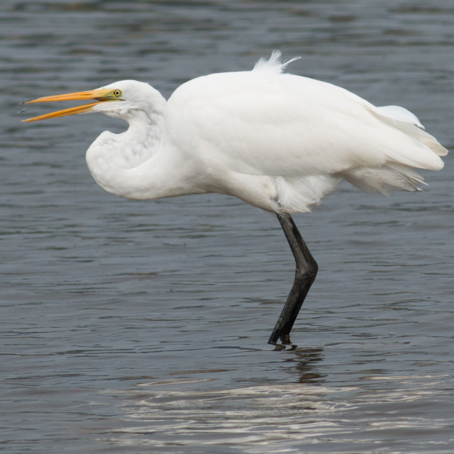 """Great Egret going after a bug."" stock image"
