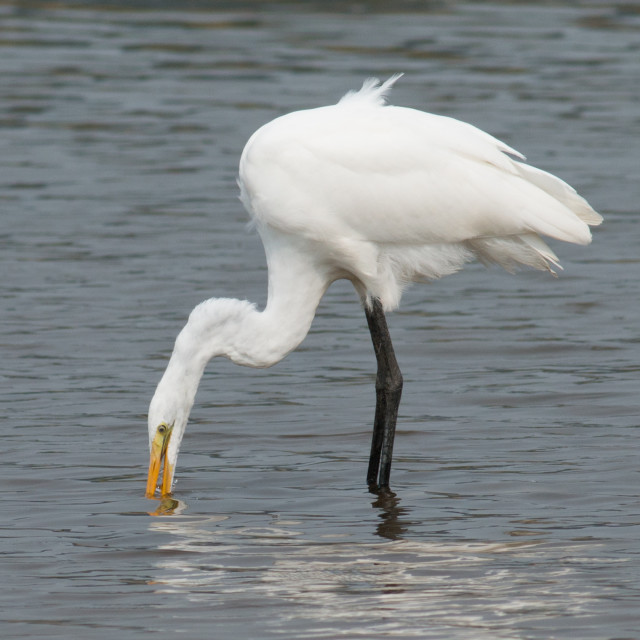 """Great Egret fishing in the lake."" stock image"