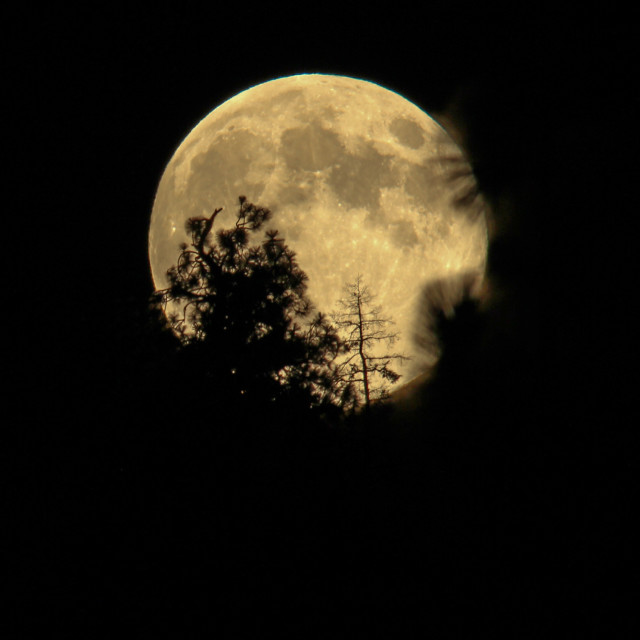 """""""Full moon rising behind the trees."""" stock image"""
