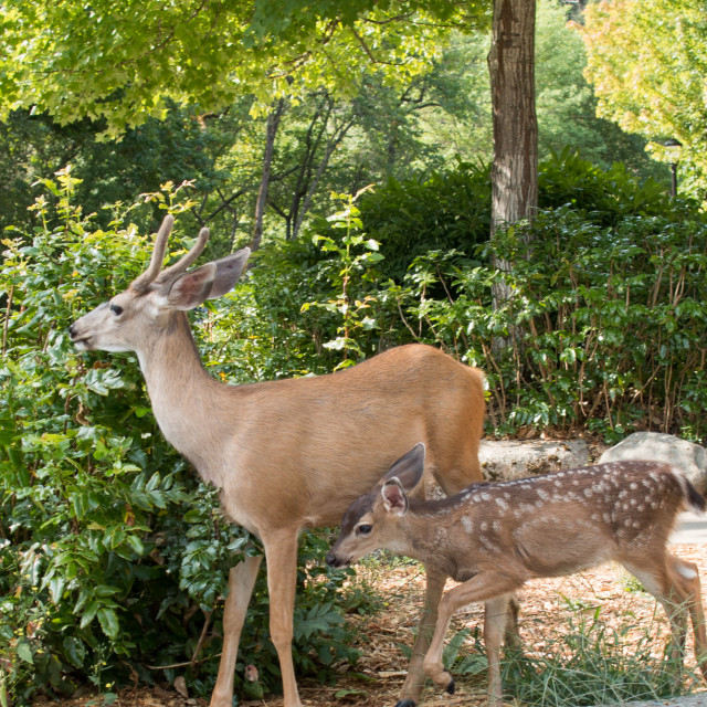"""""""White-tailed deer buck with fawn in Lithia Park."""" stock image"""