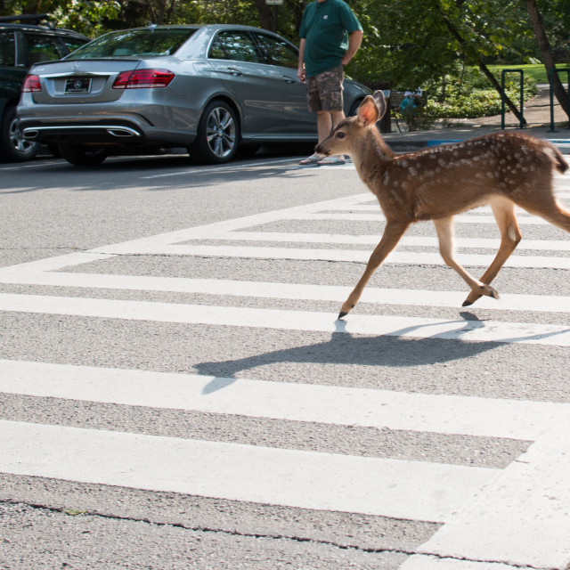 """White-tailed deer fawn running across street in the crosswalk in Lithia Park."" stock image"