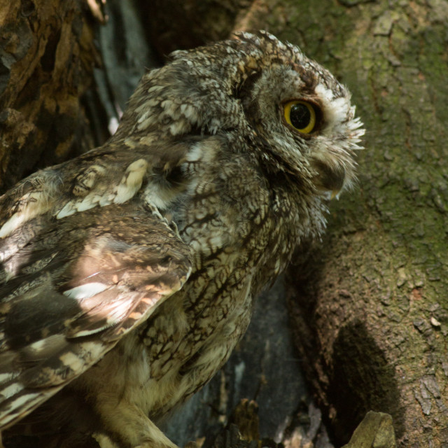 """Western screech owl sits in a oak tree."" stock image"