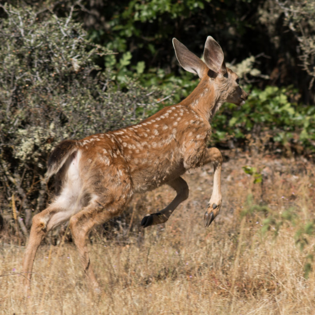 """""""White-tailed deer leaps to go after his mother."""" stock image"""