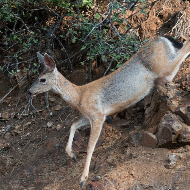 """White-tailed deer running down a rocky slope."" stock image"