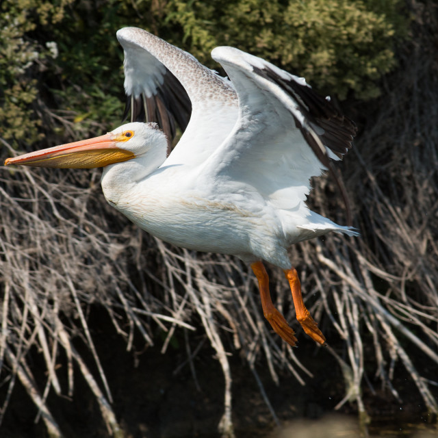 """""""American white pelican taking off."""" stock image"""