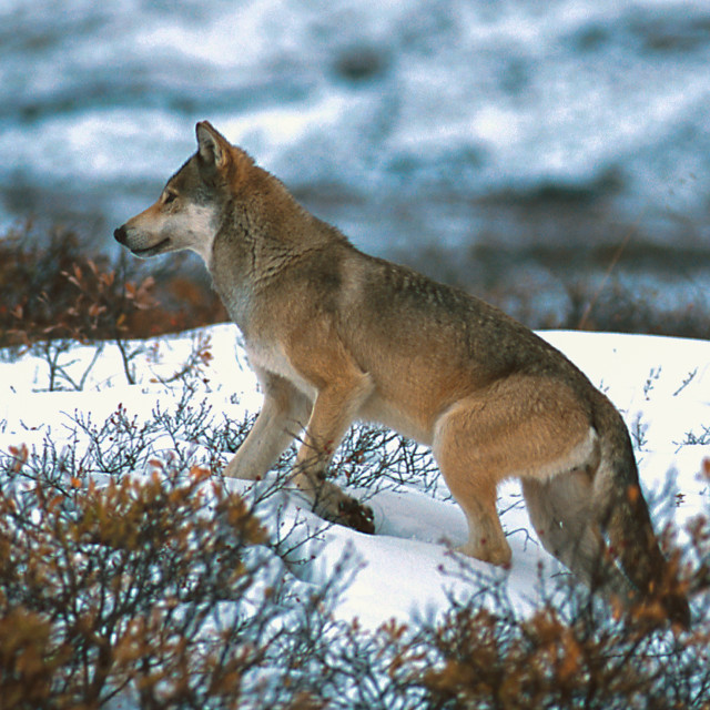 """Timber wolf walking in the snow."" stock image"