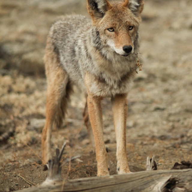 """Coyote standing near a log in Yosemite National Park."" stock image"