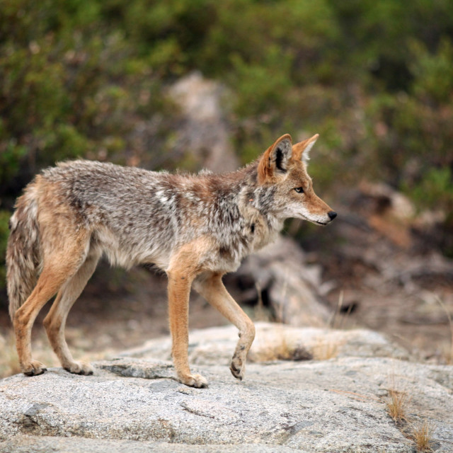 """""""Coyote standing on a large granite boulder with one paw in the air"""" stock image"""