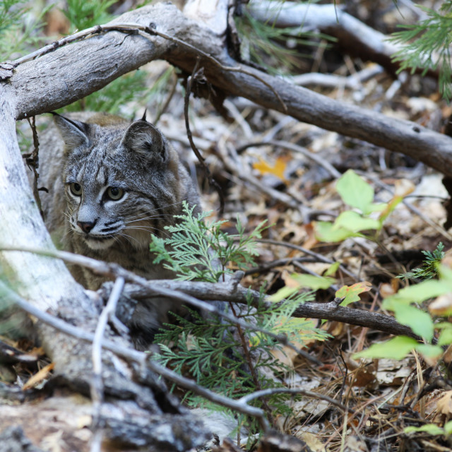 """Bobcat sitting in the sticks and leaves in Yosemite National Park."" stock image"