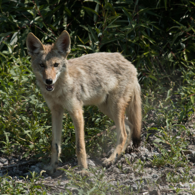 """""""Coyote perks up it's ears and smiles for the camera."""" stock image"""