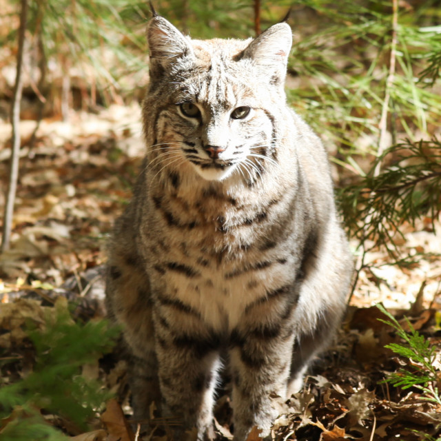 """Bobcat sitting in the leaves in Yosemite National Park."" stock image"