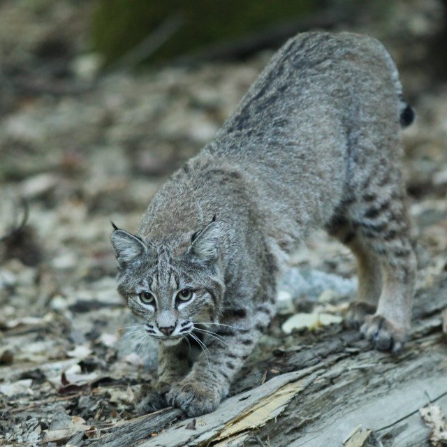 """""""Bobcat scratches a log with his claws in Yosemite National Park."""" stock image"""
