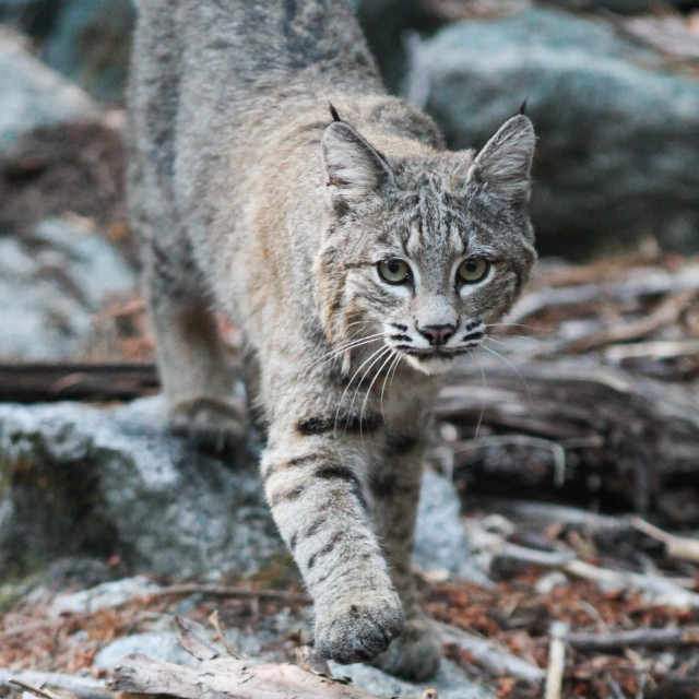 """Bobcat walking in sticks and boulders in Yosemite National Park."" stock image"