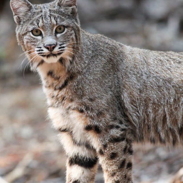 """Bobcat looks into the camera in Yosemite National Park."" stock image"