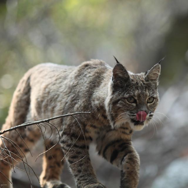 """Bobcat licks his own nose in Yosemite National Park."" stock image"