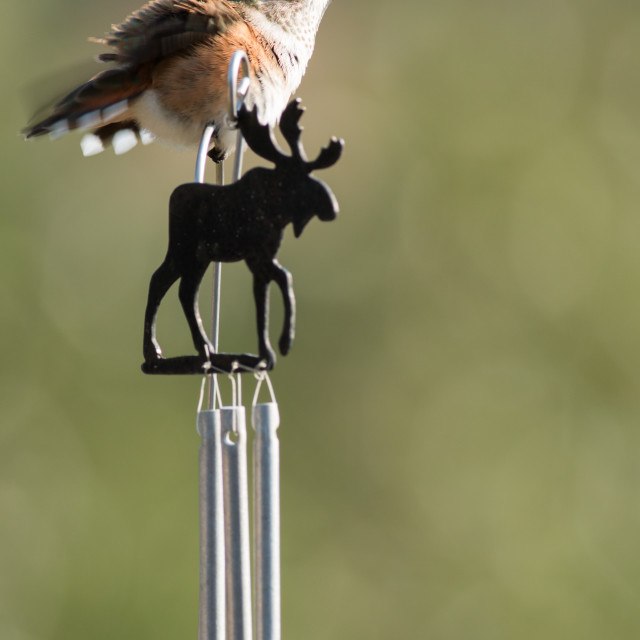 """Anna's hummingbird sits on a bull moose windchime."" stock image"